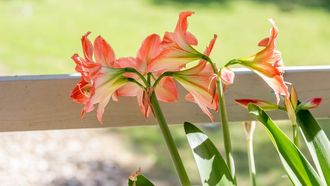 Amaryllis Aldi folder week 43