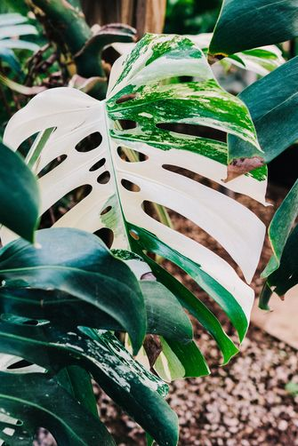 monstera variegata witte gatenplant