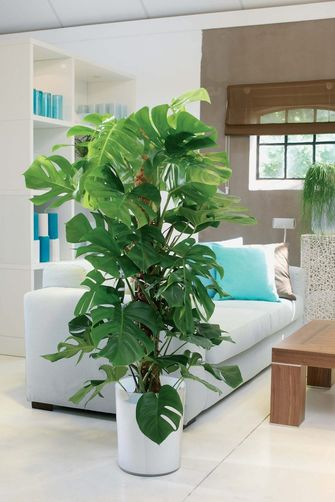 roomed-xxl-plant